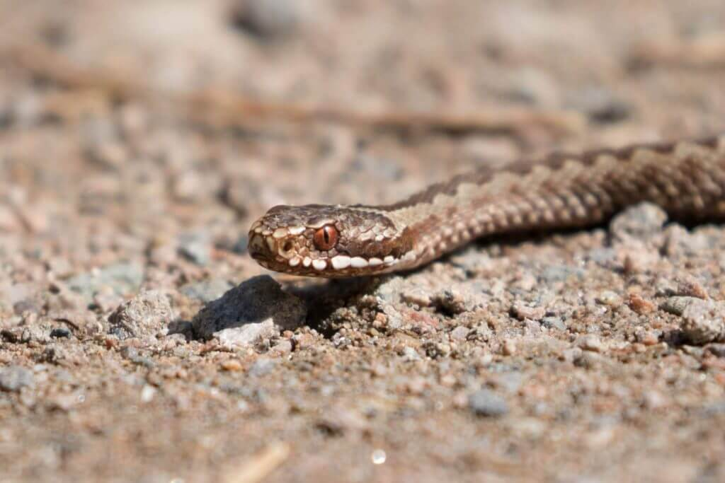 Common European Adder @ Nittedal, Norway. Photo: Håvard Rosenlund