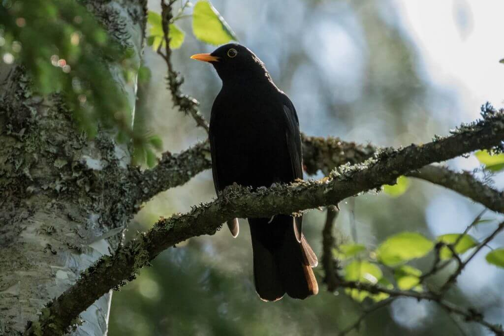 Common Blackbird @ Nittedal, Norway. Photo: Håvard Rosenlund