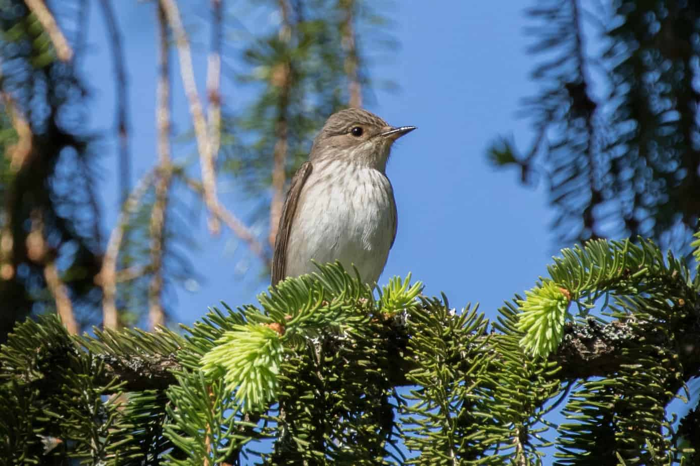 Spotted Flycatcher @ Northern Øyeren Nature Reserve, Norway. Photo: Håvard Rosenlund