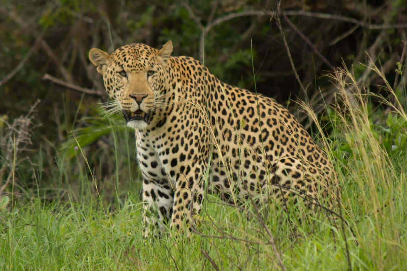 African Leopard @ Eastern Shores - iSimangaliso Wetland Park. Photo: Håvard Rosenlund
