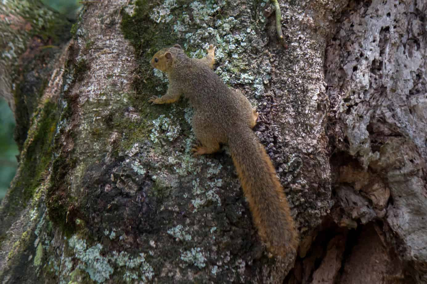 Red Bush Squirrel @ St Lucia Estuary, South Africa. Photo: Håvard Rosenlund