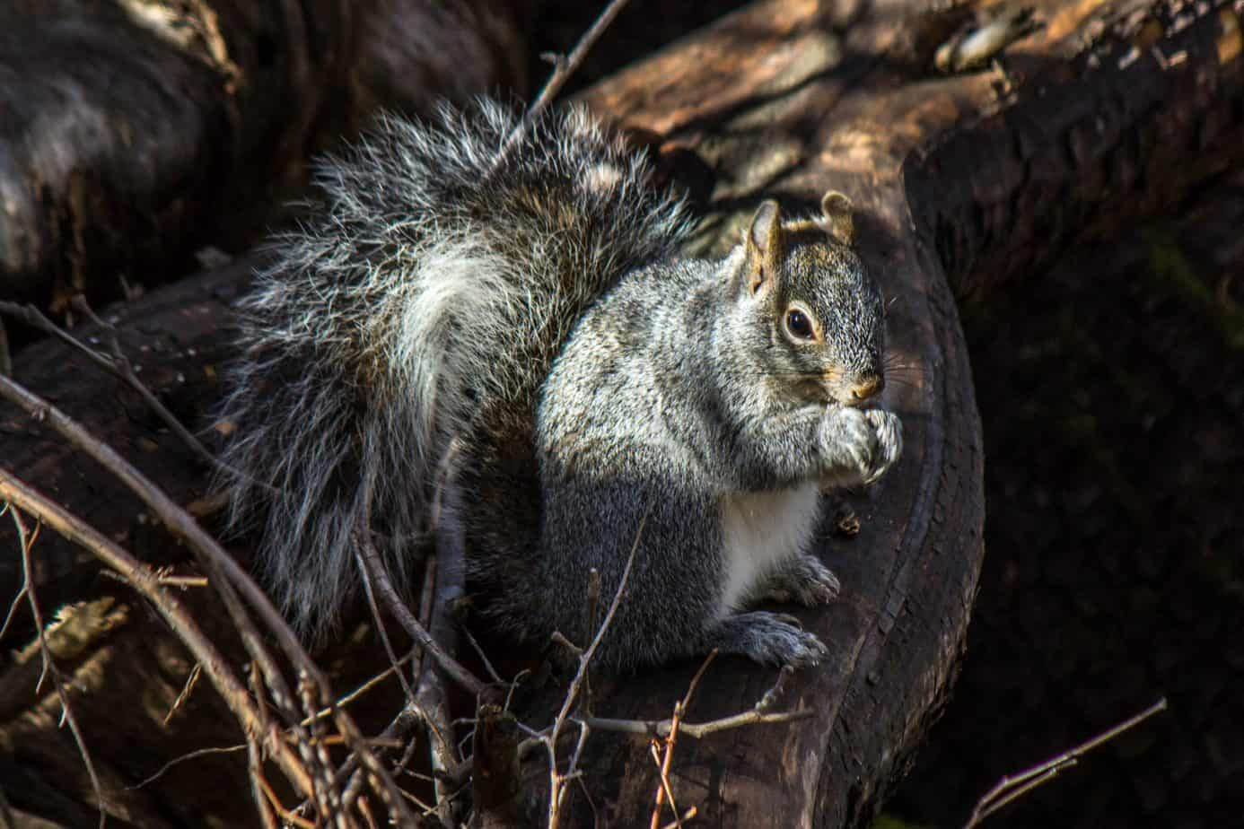 Arizona Gray Squirrel @ Madera Canyons, Arizona