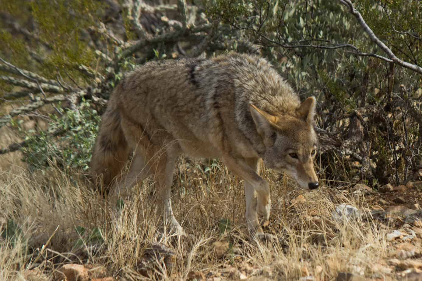 Coyote @ Sonoran Desert, Arizona