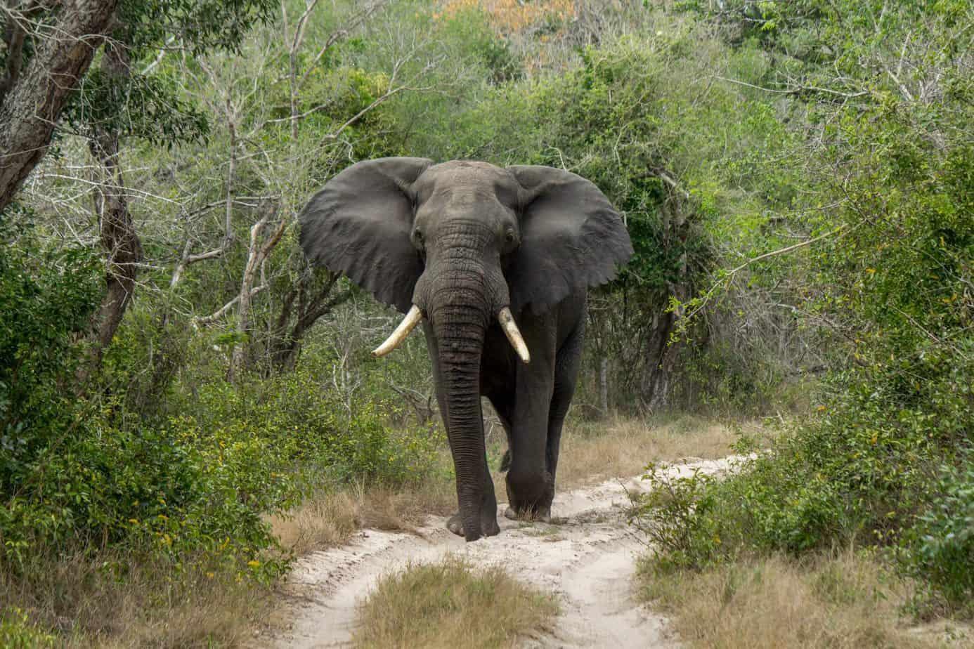Afrikansk Savanneelefant @ Tembe Elephant Park. Foto: Håvard Rosenlund
